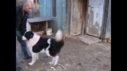 Българско овчарско куче - Перун ( на 7 години)