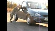 Нахална хиена се опитва да влезе в колата на туристи в Южна Африка