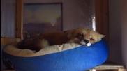 Лисичката Ронрон спи и хърка