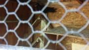 Паламарски гълъби/ники-чирпан