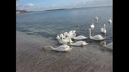 Лебеди 002