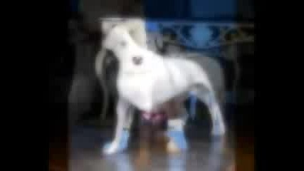 Dogo Argentino Breed