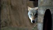 Весьегонская волчица - Отношения Егора и Волчицы)