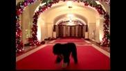 Първото куче Бо инспектира празничната украса в Белия дом