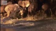 Нилски крокодил убива гну..