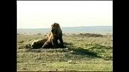 Два лъва насират 10 - 20 Хиени