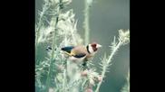 Птици - Щиглец