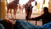 Умиращ от рак работник в зоологическа градина получава целувка за сбогом от жираф