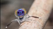 Брачният танц на паяка-паун!