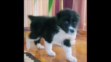 Едно мноооого сладко едномесечно българско овчарско куче