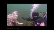 Любопитен тюлен се запознава с водолаз