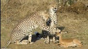 Любов между гепарди и антилопа