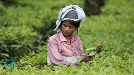 Global Warming Changes Future for Tea Leaves