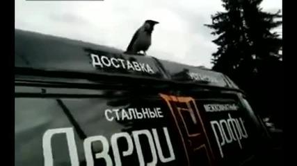 В Русия и птиците не са добре ... врана кукурига като петел !!!
