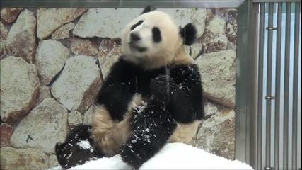Панда си играе в снега