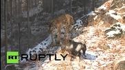 Амурски тигър стана приятел с храната си