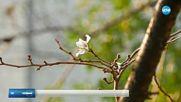 РЯДЪК ФЕНОМЕН: Вишните в Япония цъфнаха през есента