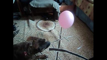 Пит булла Рита и Балон :д