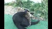 Малък Тигър и малък, черен Леопард - малки сладури