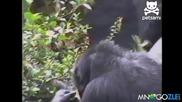 Маймуна си бърка в дупето и припада от миризмата - Ще се пръснете от смях