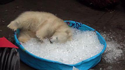 Полярно мече се забавлява в пълен басейн с ледени кубчета