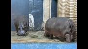 София зоопарк - Хипопотами