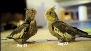 """Новоизлюпените папагалчета """"корели"""" и първите им дни"""