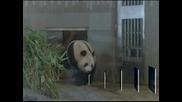 Японски зоопарк може да се сдобие с първото си бебе панда