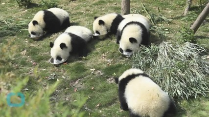China Arrests 10 for Killing Giant Panda, Selling Parts