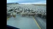 Виждали ли сте толкова много овце на едно място?