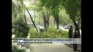 Бурният вятър изкорени и събори дърво в центъра на Благоевград