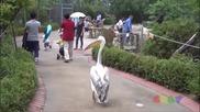 Пеликан натрапник в градския парк