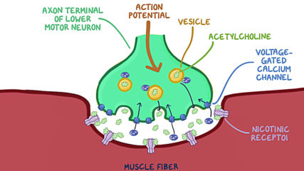 Neuromuscular junction and motor unit