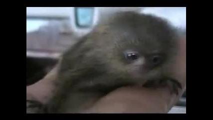 Най-малката и най-скъпата маймунка в света - сладката Мармозетка