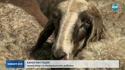 Чумата по овцете в Странджанско е дошла от Турция