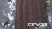 Гигантска секвоя на 3200 години