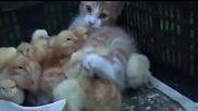 Коте и малки пиленца ..