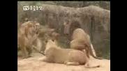 Тигър срещу лъв