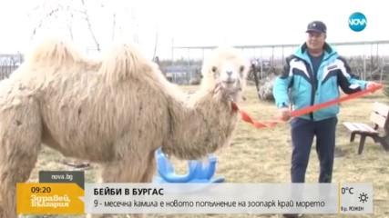 Камилата Бейби е новото попълнение на зоопарка в Бургас