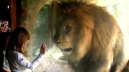 Много игрив Лъв !!