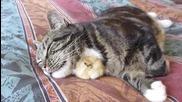 Пиленце се сгушва под брадичката на коте и заспива