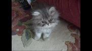 Малко сладко котенце казва Мяу ^^ (шуши)