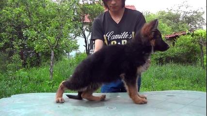 Женско кученце Va1 Remo vom Fichtenschlag