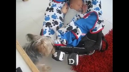 Йоркширски териер завива бебе
