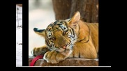 !!!pictures Of Tigers!!! Justin Timberlake - Sexyback (linus loves remix)