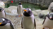 Watch Moscow Zoo penguins bubbling with excitement at the sight of soap bubbles