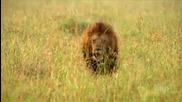Лъвове срещу бивол