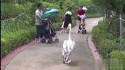 смях!! Пеликан се разхожда като кмет на село