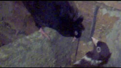 Паламарски Гълъб [ mlado pile na Arap ]- На Топи