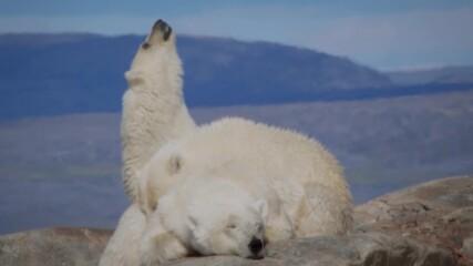 Малките на полярната мечка | NG Wild Bulgaria
